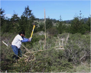 Tribal Steward Abran Lopez removing jubata grass from AMLT's Costanoa Easement. Photo courtesy Rob Cuthrell