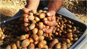 Tankoak acorns gathered by Native Stewards. Photo Courtesy Jay Scherf