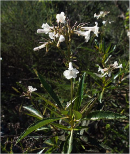 Yerba santa (Eriodictyon californicum) Photo courtesy Franco Folini, CC BY 2.0