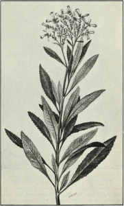 "Yerba santa as it appears in the USDA's 1911 ""American Medicinal Leaves and Herbs"""