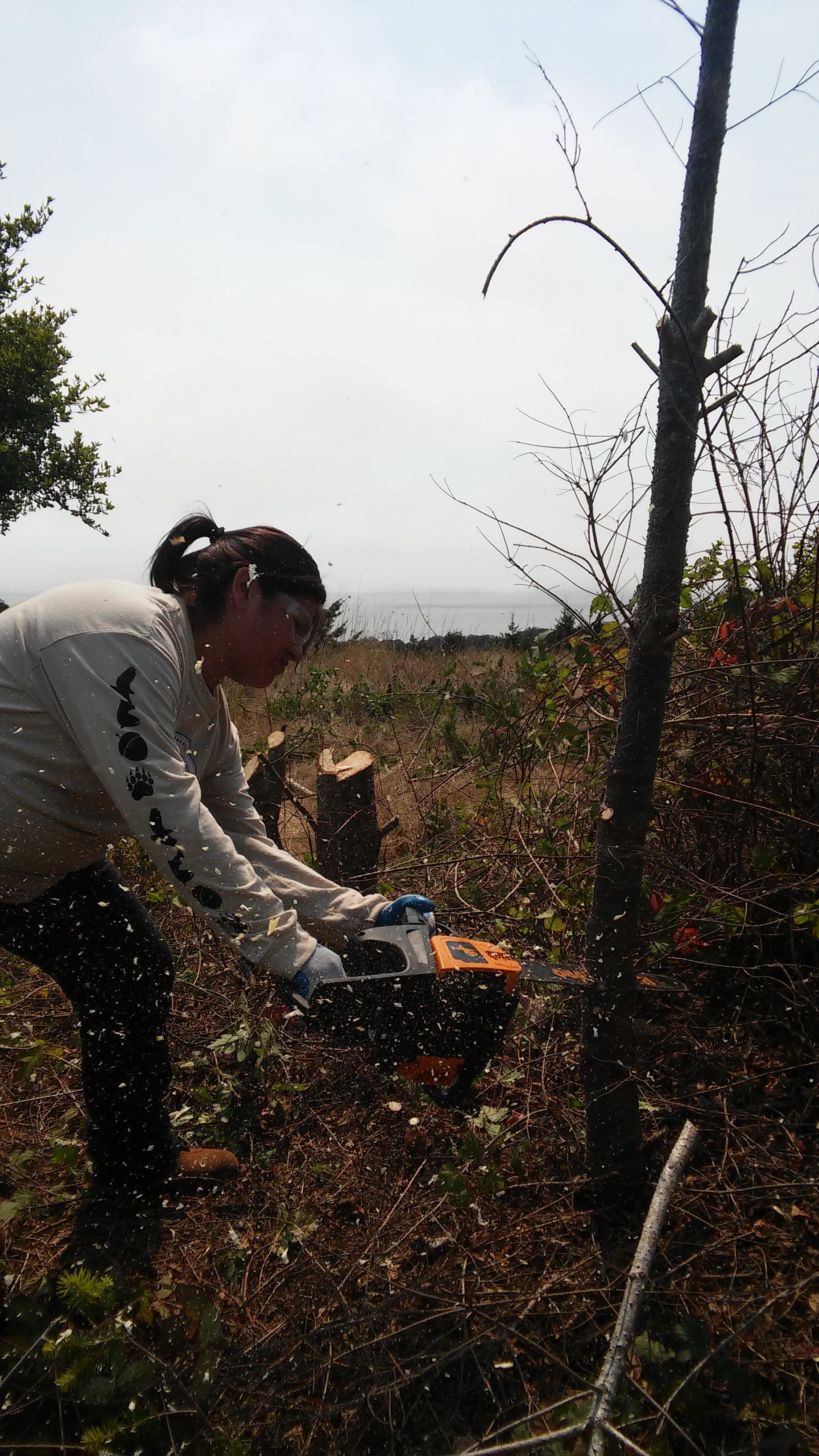 Native Steward Natalie Garcia uses a chainsaw to remove encroaching Douglas-fir (Pseudotsuga menziesii) in a native grassland at Quiroste Valley Cultural Preserve.