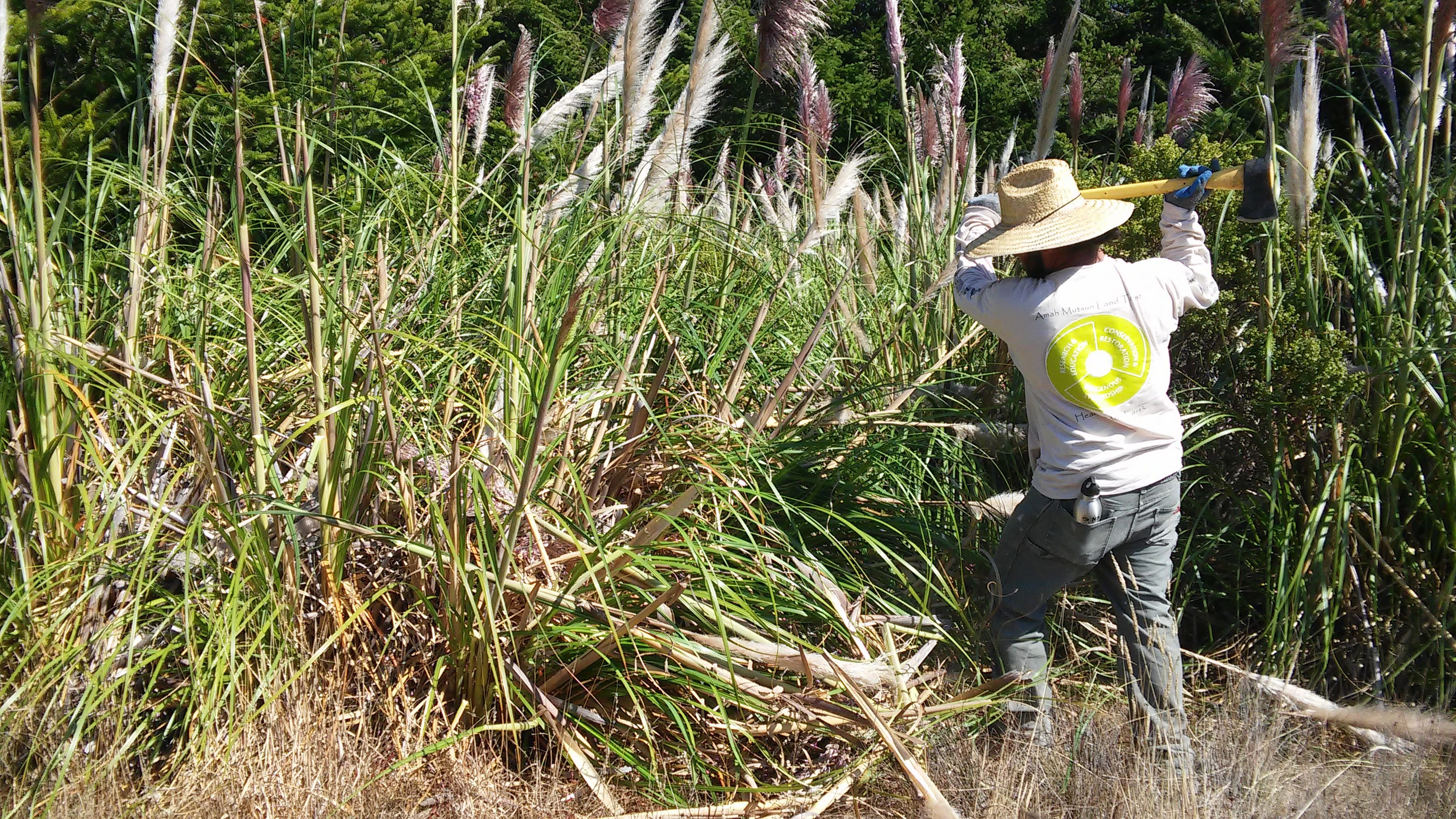 Native Steward Paul Lopez begins removal of a stand of Pampas grass (Cortaderia jubata) in the Costanoa Easement. The AMLT has been controlling the spread of the invasive Pampas grass at the Costanoa Easement for nearly two years, preventing the spread of the invasive grass into nearby Quiroste Valley Cultural Preserve. In 2015, Native Stewards spent two weeks removing  over 600 mature Pampas grass individuals. In the same 40-acre area, this year they removed over 350 individuals--many resprouts of former mature plants--in the course of only three days, demonstrating the efficacy of our previous restoration efforts.